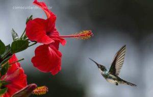 Como cuidar de hibisco, plantar, cultivar e podar
