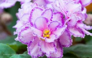 Imagem de uma violeta, como cuidar de violeta-africana
