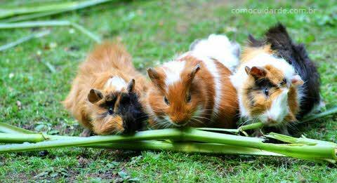 Como cuidar de porquinho da índia