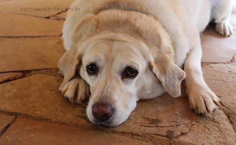Como cuidar de cachorro com demência?
