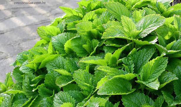 Como cultivar erva-cidreira em casa