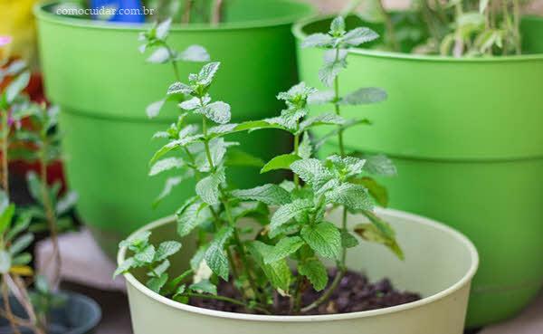 Como cultivar hortelã-pimenta e hortelã-verde