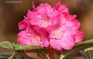 Como cuidar de azaleia rododendros