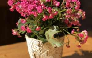 Como cuidar da flor-da-fortuna