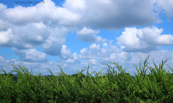 Como cuidar de kaizuka em vaso, Juniperus chinensis torulosa