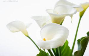Como cuidar de copo-de-leite, Zantedeschia aethiopica