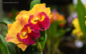 Como cuidar de orquídea Cattleya
