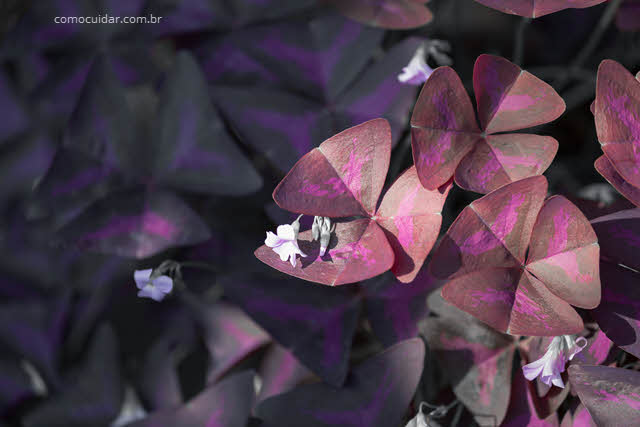 Como cuidar do Trevo Roxo, Oxalis triangularis
