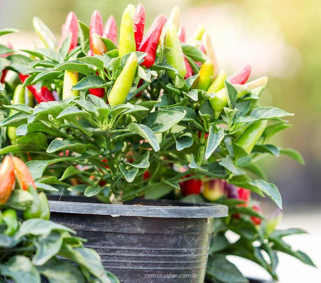 Como cuidar de pimenta ornamental