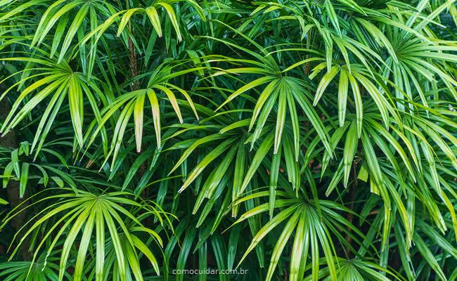 Como cuidar de palmeira ráfia, Rhapis excelsa