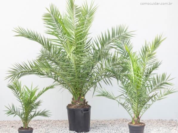 Como cuidar da palmeira-das-canárias, Phoenix canariensis