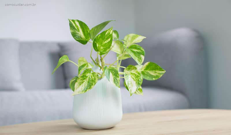 Como cuidar de jibóia, Epipremnum aureum