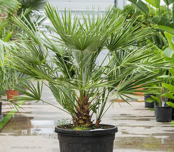 Como cuidar de palmeira-do-mediterrâneo