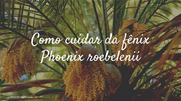 Como cuidar da fênix Phoenix roebelenii