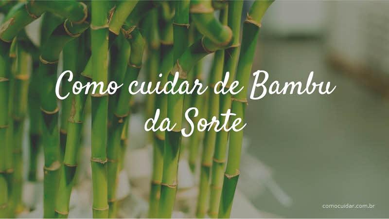 Como cuidar de Bambu da Sorte