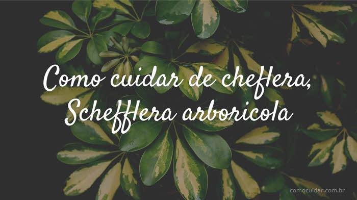 Como cuidar de cheflera, Schefflera arboricola