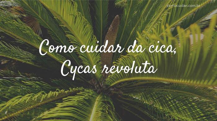 Como cuidar de cica, Cycas revoluta
