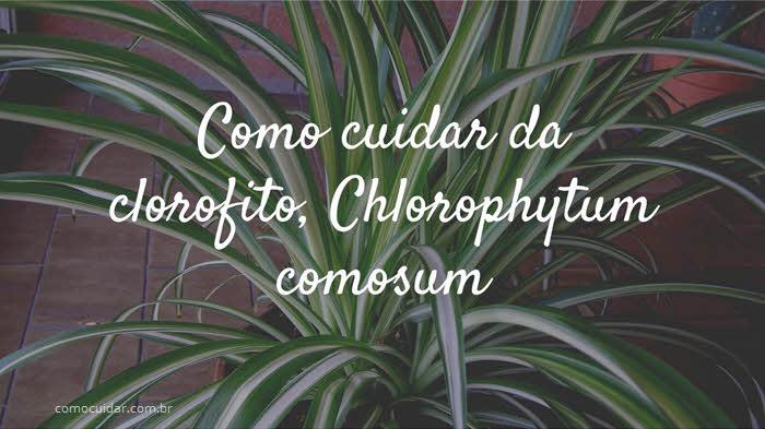 Como cuidar de clorofito, Chlorophytum comosum