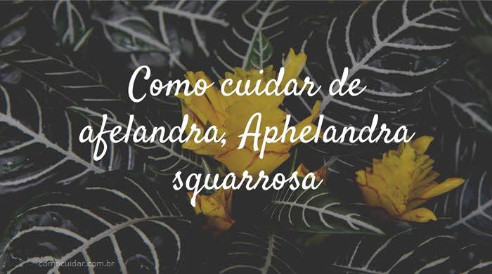 Como cuidar de afelandra, Aphelandra squarrosa