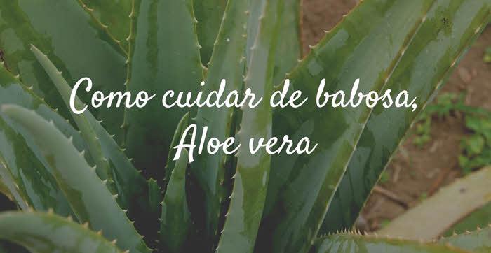 Como cuidar de babosa, Aloe vera