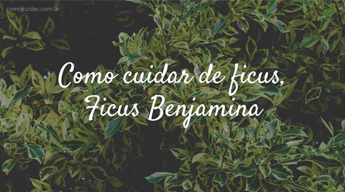 Como cuidar de ficus, Ficus Benjamina