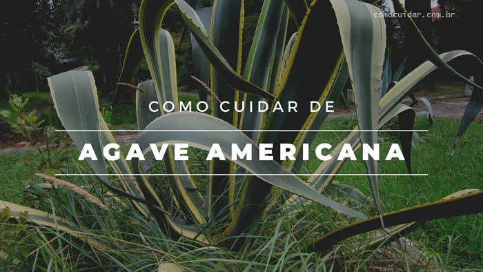 Como cuidar de Agave americana