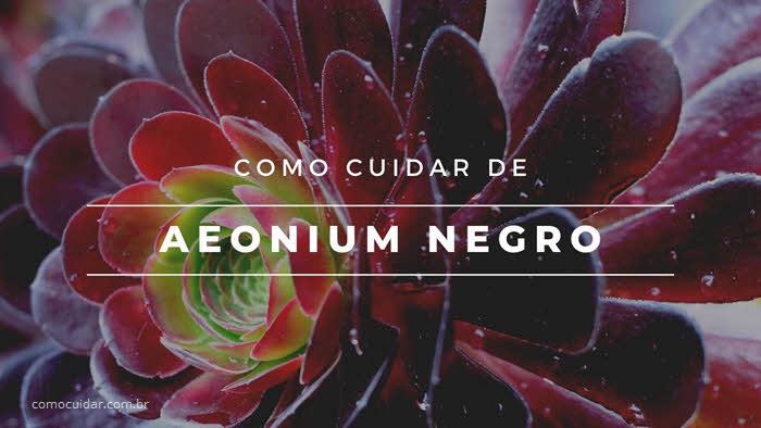 Como cuidar de Aeonium Negro, Aeonium Zwartkop