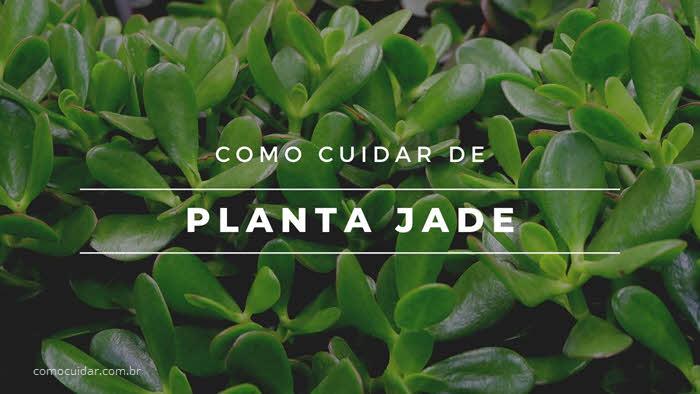 Como cuidar de Planta Jade, Crassula Ovata