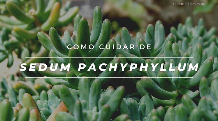 Como cuidar de Sedum pachyphyllum