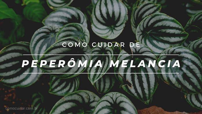 Como cuidar de peperômia melancia