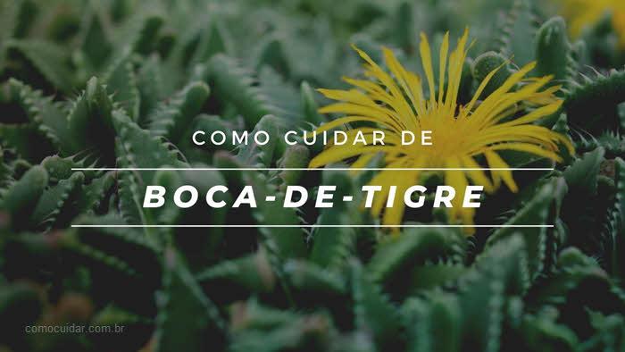 Como cuidar de boca-de-tigre, Faucaria tigrina