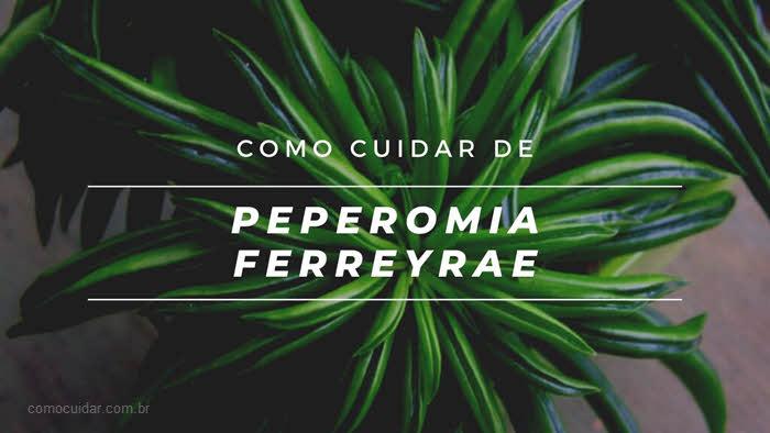 Como cuidar de Peperomia ferreyrae