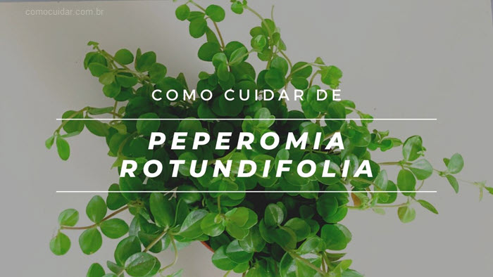 Como cuidar de Peperomia rotundifolia, colar de lentilhas