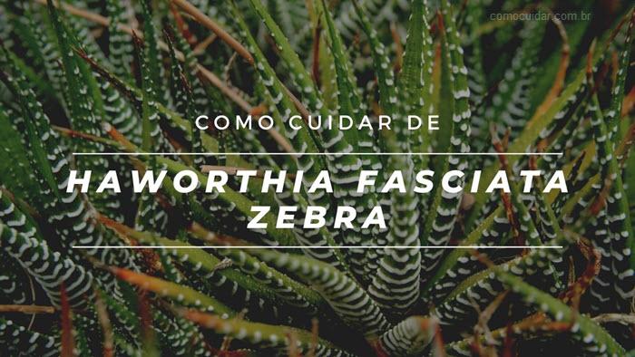 Como cuidar de Zebra Haworthia fasciata