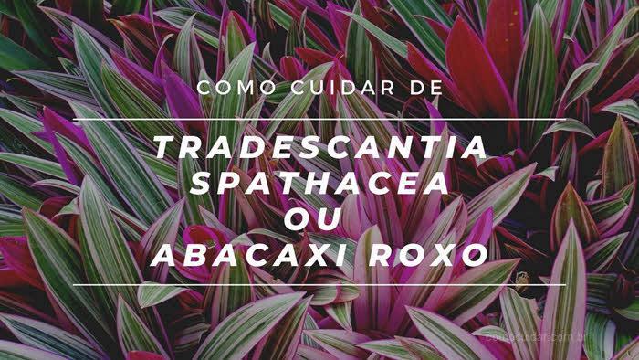 Como cuidar de abacaxi-roxo ou Trandescantia spathacea