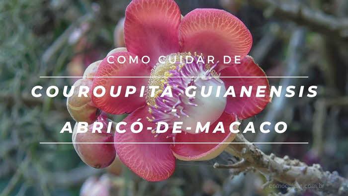 Como cuidar de abricó-de-macaco ou Couroupita guianensis
