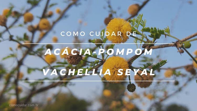 Como cuidar de acácia-pompom, Vachellia seyal