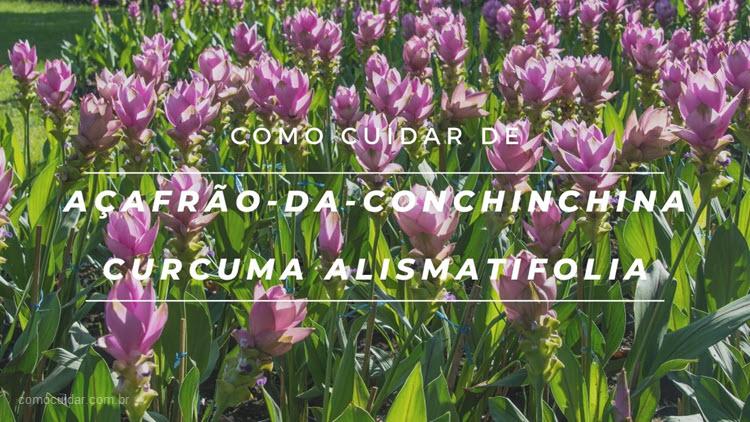 Como cuidar de açafrão-da-conchinchina, Curcuma alismatifolia
