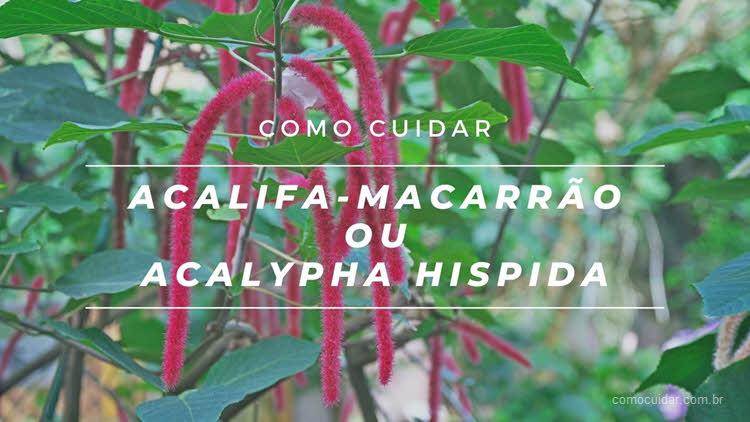 Como cuidar de acalifa-macarrão, Acalypha hispida