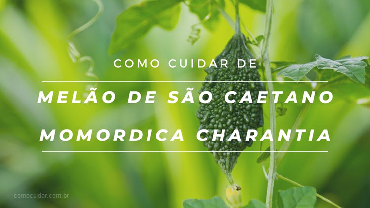 Como cuidar de melão de São Caetano, Momordica charantia