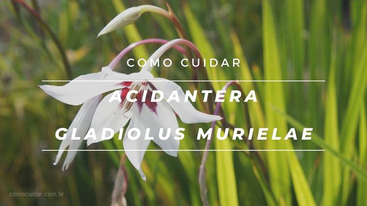 Como cuidar de acidantera, Gladiolus murielae